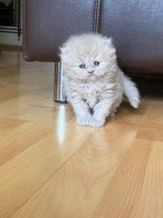 BLH weibliche kitten