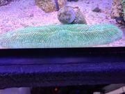 Koralle fungia