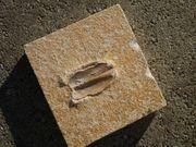 Versteinerte Muschel Fossil Solnhofener Plattenkalk