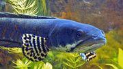 Biete Schlangenkopffische Channa pulchra C