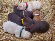 Zuckersüsse reinrassige Labrador Welpen