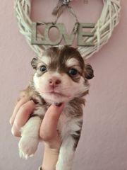 chihuahua Babys mit Ahnentafel