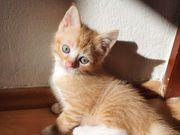 Bkh Siam Baby Kätzchen