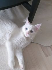 Mainecoon weiss