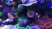 KorallenAbleger SPS und LPS