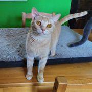 LIMA - Katzenfreundin gesucht