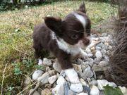 Traumhafte Chihuahua Hündin