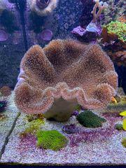 Pilzlederkoralle Meerwasser