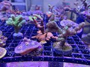 Korallen-Paket 7-teilig inkl Versand