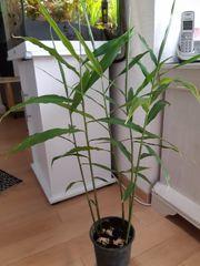 Ingwer Pflanze