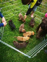 Australien Shepard Labrador Mix Welpen