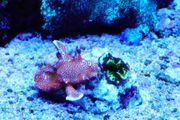 Korallenableger Nachzuchten Korallen WYSIWYG