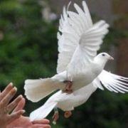 Weise Hochzeit Tauben