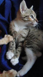 Wunderschöne Rasse Mix Katzenbabys Kater