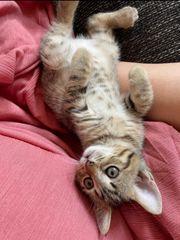 Bengal Perser Kitten