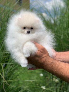 Zwergspitz Pomeranian Hunde Kaufen Verkaufen Auf Quokade
