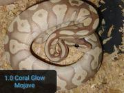 1 0 Mojave Coral Glow