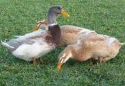 Sachsen Enten wunderschöne Jungtiere zu