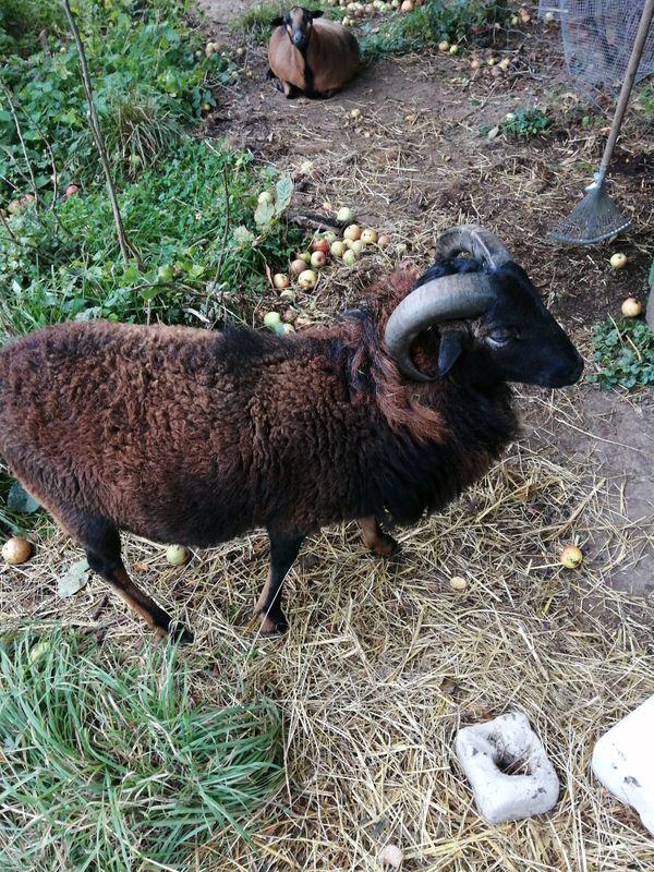 Schaf zu verkaufen