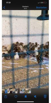 Küken Steinhühner Rothühner