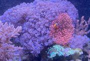 Koralle Meerwasser pumpende Xenia Bäumchenweichkoralle