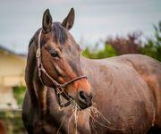 Zuchtstute bzw Beistellpferd