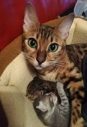 Bengal Siam Mix Kitten Katzenbabys