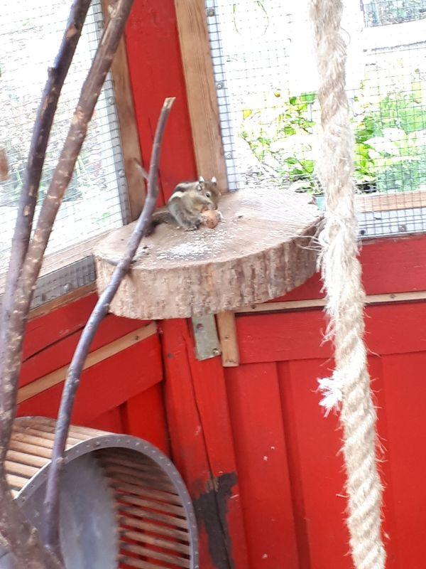 Chin Baumstreifenhöhrnchen