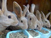 Junge Lux Rex Kaninchen