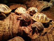 Griechische Landschildkröten THB Nachzucht 2018
