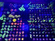 Meerwasser Korallen Acropora Sps Lps