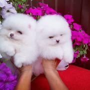süsse zwergspitz Pomeranian