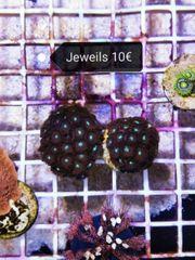 Meerwasser Korallen zu verkaufen