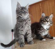 Maine Coon Kitten aus liebevoller