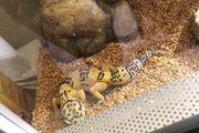 Leopardgecko Weibchen abzugeben