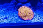 Fungia Ultra Orange mit lila