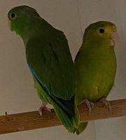Kolumbianer Blauflügel Sperlingspapageien Pärchen