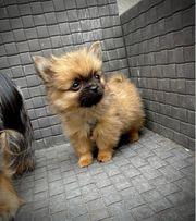 pomeranian chihuahua Mini