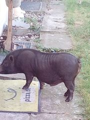 Hängebauchschweine uabzugeben