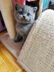 Reinrassige BKH Kitten geimpft gechipt