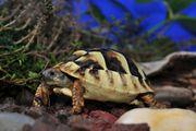 Griechische Landschildkröten Babys Thb Nachzucht