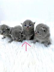 Verkaufe reinrassige Bkh kitten mit
