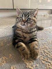 BKH Kitten Weibchen chocolate golden