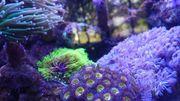 Meerwasser Korallenableger aus eigener Nachzucht