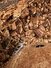 1 2 Paroedura Picta Madagaskar
