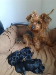 Yorkshire Terrier transport kostenlos