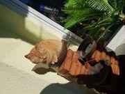 Katze British Kurzhaar