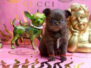 Chihuahua Baby Schoko Langhaar