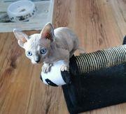 Sphynx Kitten weiblich hell blau