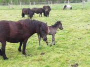 Shetland Pony - Staatsprämienstute mit Fohlen